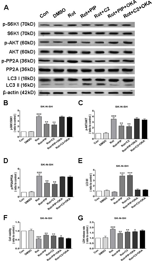 OKA reverses PIP-induced autophagy and increase in cell viability via PP2A inactivation in SK-N-SH cells A. S6K, p-S6K1, AKT, p-AKT, PP2A, p-PP2A, LC3 I, and LC3 II expression was determined by western blotting following OKA treatment; β-actin was used as a loading control. B. - E. Quantification of the ratios of p-S6K1/S6K1 (B), p-AKT/AKT (C), p-PP2A/PP2A (D), and LC3 II /I (E). F. , G. Detection of cell viability (F) and cytotoxicity (G) with the MTT and LDH assays, respectively. Data are expressed as the mean ± SD (one-way analysis of variance). ### P