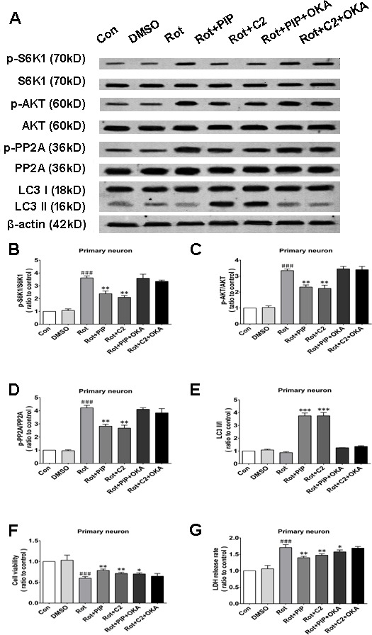 OKA reverses PIP-induced autophagy and increase in cell viability via PP2A inactivation in primary neurons A. S6K, p-S6K1, AKT, p-AKT, PP2A, p-PP2A, LC3 I, and LC3 II expression was determined by western blotting following OKA treatment; β-actin was used as a loading control. B. - E. Quantification of the ratios of p-S6K1/S6K1 (B), p-AKT/AKT (C), p-PP2A/PP2A (D), and LC3 II /I (E). F. , G. Detection of cell viability (F) and cytotoxicity (G) with the MTT and LDH assays, respectively. Data are expressed as the mean ± SD (one-way analysis of variance). ### P