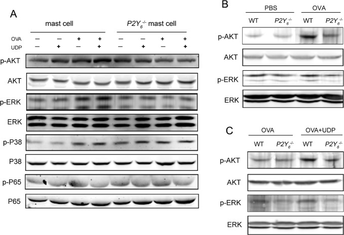 P2Y 6 -related signaling pathway detection by western blot in mast cells A. The phosphorylation levels of P65, AKT, ERK, and P38 in mast cells were determined by western blot. B. The phosphorylation levels of AKT and ERK in the lung tissues in ovalbumin-induced wild type and P2Y −/− mice. C. The phosphorylation levels of AKT and ERK in the lung tissues in UDP-treated wild type and P2Y −/− asthmatic mice. WT is the abbreviation of wild type; UDP is the abbreviation of uridine 5′-diphosphate; OVA is the abbreviation of ovalbumin.