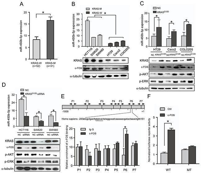 KRAS signaling enhances miR-450b-5p expression in CRC A. Real-time PCR analyses of miR-450b-5p expression in CRC samples with wild-type KRAS (n=52) and CRC samples with mutant-KRAS (n=31). B. Real-time PCR analyses of miR-450b-5p expression and western blotting analyses of KRAS expression in indicated CRC cell lines with different KRAS types. C, D. Real-time PCR analyses of miR-450b-5p expression and western blotting analyses of KRAS and its downstream genes expression in indicated cells transfected with mutant KRAS G12D or treated with KRAS G12D -siRNA. E. Chromatin immunoprecipitation assay (CHIP) for detection of c-FOS binding site on the promoter of miR-450b-5p. F. Luciferase activity analyses of c-FOS on promoter activity of miR-450b-5p transfected with wild-type and mutated-type reporter vector.