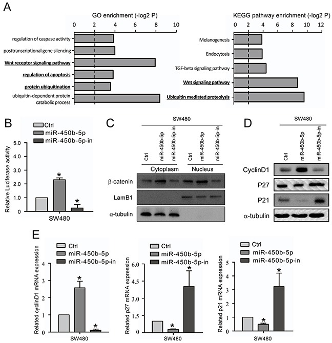 miR-450b-5p activates Wnt signaling pathway in CRC A. GO enrichment and KEGG enrichment of pathways involving predicted miR-450b-5p targeting genes. B. The Wnt signaling luciferase reporter assay of indicated cells transfected with miR-450b-5p and miR-450b-5p-inhibitor. C. Western blotting assay for β-Catenin in cytoplasm and nucleus of indicated cells transfected with control, miR-450b-5p and miR-450b-5p-inhibitor. LamB1 and a-tubulin served as loading controls for nucleus and cytoplasm proteins, respectively. D. Western blot analysis in indicated cells of protein products of Wnt signaling pathway downstream genes. E. Q-PCR analysis in indicated cells of protein products of Wnt signaling pathway downstream genes.* p