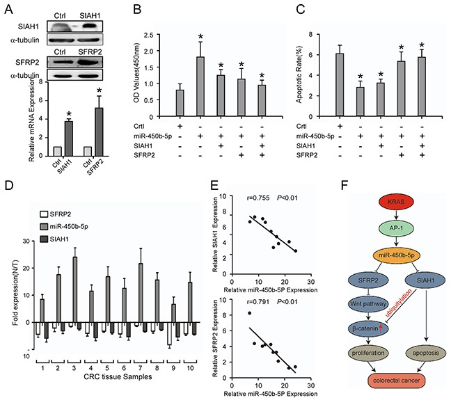 Repression of SIAH1 and SFRP2 inhibits the CRC progression induced by miR-450b-5p, and the clinical relevance of miR-450b-5p and its targets in CRC A. Western blotting and Real-time PCR analyses of SIAH1 and SFRP2 exogenous expression. B. MTT assays on indicated cells. The OD values (450 nm) of cells at day 7 were analyzed; C. Flow-cytometry of an apoptosis assay on indicated cells. Annexin-positive/PI-negative cells were calculated for apoptotic rate. D. Real-time PCR analyses of SFRP2, miR-450b-5p, and SIAH1 expression in 10 fresh human CRC samples. E. Spearman correlation analyses on relative expression of miR-450b-5p and relative expression of SIAH1 and SFRP2 in 10 fresh human CRC samples. F. Proposed model: miR450b-5p is increased by mutated KRAS through AP-1 binding to its promoter, and then down-regulates SIAH1 and SFRP2, finally activating Wnt signaling pathway. Error bars represent mean ± SD from three independent experiments, * p