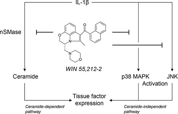 Scheme showing the proposed mechanism underlying the inhibitory effect of the synthetic cannabinoid WIN 55,212-2 on endothelial expression of tissue factor (TF) The proinflammatory cytokine interleukin (IL)-1β induces TF expression in endothelial cells by separate pathways involving ceramide formation or activation of p38 mitogen-activated protein kinase (MAPK) and c-Jun N-terminal kinases (JNK). WIN 55,212-2 inhibits IL-1β-induced TF expression via a receptor-independent pathway resulting in a suppression of neutral sphingomyelinase (nSMase)-dependent ceramide formation as well as an interference with the activation of p38 MAPK and JNK.