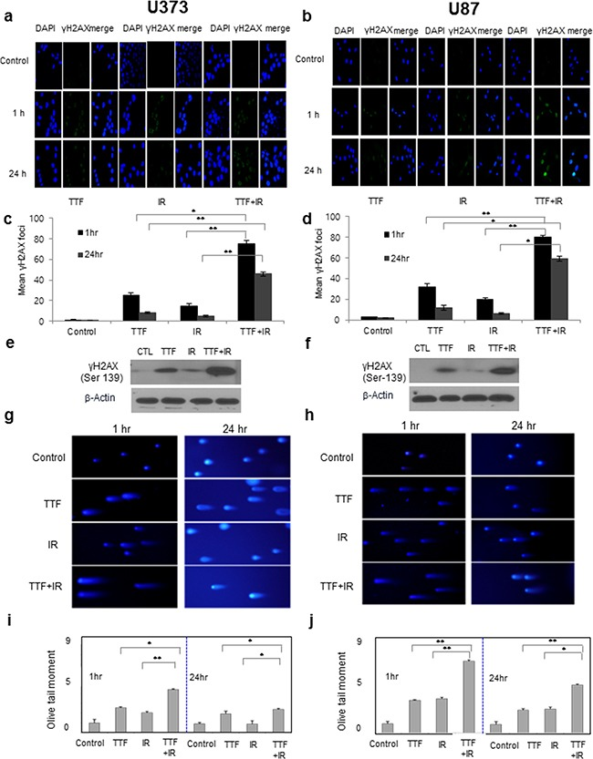 The effect of TTF on cell function is similar to that of IR, and the effect of TTF+IR is synergistic Cells were exposed to 24 h of TTF, 5 Gy of γ-rays or 5 Gy of γ-rays followed by 24 h of TTF, indicated as the TTF, IR and TTF+IR treatments, respectively. a, b. Immunocytochemistry staining for <t>H2AX</t> phosphorylation (Ser 139, green) in U373 and U87 cells, measured at 1 h and 24 h after treatment with TTF, IR or TTF+IR. c, d. The mean and standard error of the calculated <t>γ-H2AX</t> foci from 3 experiments measured at 1 h and 24 h after treatment with TTF, IR and TTF+IR. The values represent the means of three experiments ± SD; * p