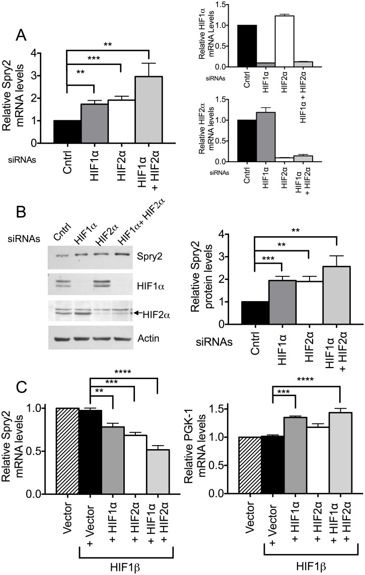 HIF1α and HIF2α regulate mRNA and protein levels of Spry2. (A) Cells transfected with siRNA against HIF1α, HIF2α or both isoforms were incubated under hypoxic conditions (3% O 2 ) for 24 hours. RNA was isolated and mRNA levels of HIF1α , HIF2α (right panels) and SPRY2 (left panel) were monitored by qRT-PCR with specific primers/probe and normalized with 18S rRNA. Cells transfected with mutant siRNA were used as control. Graphs are mean + SEM of 5 independent experiments. (B) Cells were treated same as in (A) except hypoxic incubation was for 32 hours. The protein levels of HIF1α, HIF2α and Spry2 were analyzed by Western blotting. Actin was used as loading control. Graph is mean + SEM from six independent experiments. (C) HEK293T cells transfected with vector alone or HIF1β along with vector, HIF1α, HIF2α, or both HIF1α and HIF2α were incubated under normoxic conditions for 40 hours after transfection. The mRNA amounts of SPRY2 (left panel) or PGK1 (right panel) were monitored by qRT- PCR and normalized with 18S rRNA. Graphs are mean + SEM from four independent experiments. Each group was compared with cells transfected with pcDNA3-HIF1β only. Statistical significance was assessed using unpaired Student t-tests (A B) or one-way ANOVA with Dunnett's multiple comparison test (C) **: p