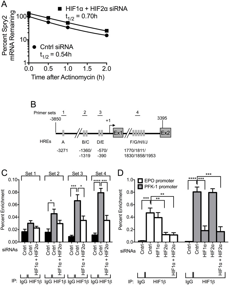 HIF1α and HIF2α do not regulate the stability of SPRY2 mRNA, but they bind to the proximal promoter and intron of SPRY2 . (A) Hep3B cells transfected with control or HIF1α/HIF2α siRNAs were incubated in hypoxia for 24 hours and then treated with actinomycin D (3 μg/mL). Total RNA was extracted at the indicated times and the mRNA levels of SPRY2 were monitored using qRT-PCR. (B) Schematic of SPRY2 from -3850 to 3395 encompassing the promoter, transcription start site (+1), exon 1 (Ex1), intron, and exon 2 (Ex2). Each grey rectangle labeled with a letter represents a putative HRE and the location of each HRE is labeled underneath. Each numbered line above shows the location of a primer pair designed to amplify a region of DNA with specific putative HREs in a ChIP. (C) Hep3B cells transfected with control or HIF1α and HIF2α siRNAs were incubated in hypoxia for 32 hours. Proteins, cross-linked to DNA, were immunoprecipitated with control rabbit IgG or HIF1β antibody. The DNA was sheared and the amounts of co-immunoprecipitated DNA were examined by qRT-PCR with the indicated primer sets. Graphs are the mean + SEM from five independent experiments. (D) Hep3B cells transfected with control, HIF1α, HIF2α, or HIF1α and HIF2α siRNAs were incubated in hypoxia for 32 hours. ChIP assays were performed as stated in (C) except primers were used that encompass the HREs located in the promoter of the HIF1α-responsive gene PFK-1 or the HIF2α-responsive gene EPO . Graph shows the mean + SEM from three independent experiments. Statistical significance was assessed using one-way ANOVA with Dunnett's multiple comparison test (C D) *: p