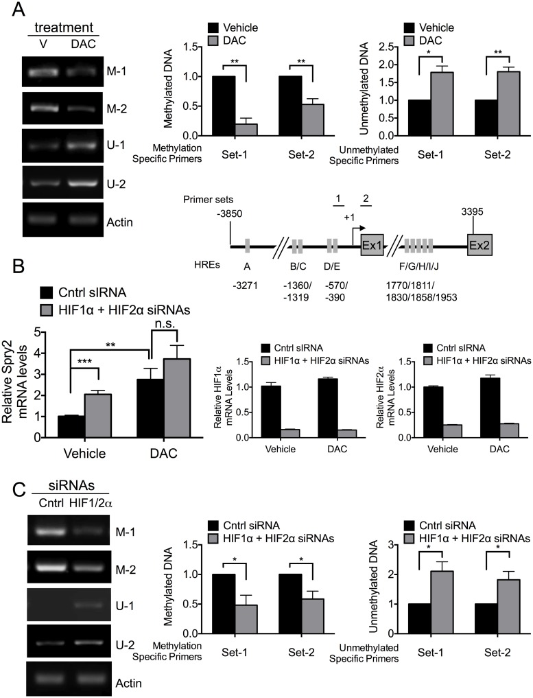 HIF1α and HIF2α repress SPRY2 mRNA levels by enhancing the methylation of the SPRY2 promoter. (A) Upper panel : Hep3B cells treated with vehicle (V) or decitabine (DAC) were incubated in hypoxia for 24 hours. DNA was extracted, bisulfite-converted, and the methylation status was assessed with methylation specific (M) and unmethylated specific (U) PCR primers. The amount of β-actin DNA was monitored to control for DNA amount loaded into each PCR. The amounts of methylated and unmethylated SPRY2 promoter DNA were quantified by densitometry and normalized to β-actin. Graph shows the mean + SEM for three independent experiments. Lower panel : Schematic of hSPRY2 promoter and gene showing the positions of PCR primers for both methylation specific and unmethylated specific PCRs. The arrow shows the transcription start site. Grey rectangles depict putative HREs. (B) Hep3B cells were treated with vehicle or decitabine (DAC, 5 μM), transfected with control or HIF1α and HIF2α siRNAs and incubated in hypoxia for 24 hours. RNA was isolated and the mRNA amounts of SPRY2 (left panel), HIF1α and HIF2α (right panels) were monitored by qRT-PCR and normalized with 18S rRNA. Graphs show the mean + SEM from three independent experiments repeated in duplicate or triplicate. (C) Hep3B cells transfected with control or HIF1α and HIF2α siRNAs were incubated in hypoxia for 24 hours. The methylation status of the SPRY2 promoter was analyzed as in (A). Graph shows the mean + SEM from five independent experiments. Statistical significance was assessed using unpaired student t-tests (A, B C) *: p