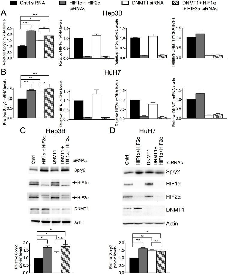 Silencing DNMT1 attenuates the increase in SPRY2 mRNA and protein levels when HIF1α and HIF2α expression is silenced. (A) Hep3B and (B) HuH7 cells transfected with control, HIF1α and HIF2α, DNMT1, or DNMT1 and HIF1α and HIF2α siRNAs were incubated in hypoxia for 24 hours. RNA was isolated and mRNA amounts of SPRY2 , HIF1α , HIF2α , and DNMT1 were quantified by qRT-PCR and normalized with (A) 18S rRNA or (B) 18S rRNA and RPLP0. Graphs show the mean + SEM from three independent experiments in duplicate or triplicate. (C) Hep3B or (D) HuH7 cells were treated as in (A B). The protein levels of DNMT1, HIF1α, HIF2α and Spry2 were analyzed by Western blotting. Actin was used as a loading control. Graph shows the mean + SEM from (C) three or (D) four independent experiments. Statistical significance was assessed using one-way ANOVA with Tukey's multiple comparison test (A, B) or Sidak's multiple comparison test (D) or unpaired student t-tests (B) *: p