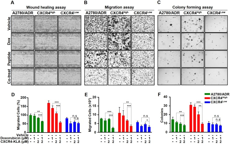 Using a combination of doxorubicin and CXCR4-KLA could synergistically inhibit invasion, migration, and colonization of OVC. (A-C) Representative images showing the wound healing, migration, and colony formation assays on A2780/ADR, CXCR4 High , and CXCR4 Low . The cells were treated with vehicle alone, doxorubicin alone, CXCR4-KLA alone and a combination of the drug and peptide. (D-F) The results were also presented quantitatively to reflect the percentage and number of cells that invaded the wounds and migrated through the chambers, as well as the number of colonies formed. The results expressed on the graph represent the means ± SD of three independent experiments (t-test, * p