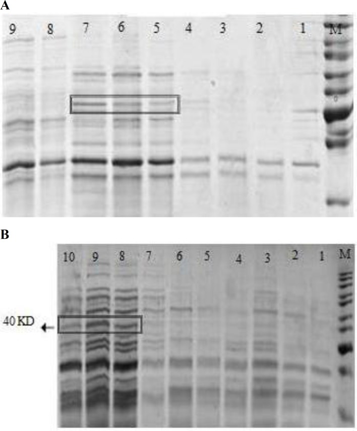 Optimizing the expression of HA1 protein. (A) Time-course induction study in Escherichia coli strain BL21 (DE3). Expression of HA1 protein was induced by 1 mM IPTG. Lane M: Protein ladder. Lanes 1-7: Harvested cell aggregate ( E. coli BL21 pet28a-HA1) at 0 h, 1 h, 2 h, 3 h, 4 h, 5 h and 6 h, respectively; Lanes 8 and 9: Negative control samples ( E. coli BL21 pet28a+) at 0 h and 6 h, respectively. (B) The best IPTG concentration study after 6 h induction. Lane M: Protein ladder. Lanes 1-5: Control samples ( E. coli BL21 pet28a+) with 0, 0.2, 0.4, 0.8 and 1 Mm IPTG concentration, respectively. Lane 6-10: HA1 expressed samples ( E. coli BL21 pet28a-HA1) with 0, 0.2, 0.8, 1 and 0.4 mM IPTG concentration, respectively