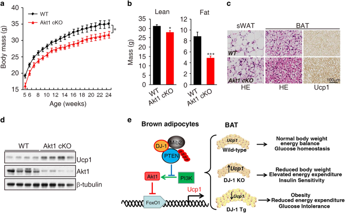 Specific knockout Akt1 in BAT increases Ucp1 expression. ( a ) Body mass of wild-type mice (WT) and Akt1 conditional knockout mice (Akt1 cKO) fed on a chow diet for 24 weeks(WT, n =17; Akt1 cKO, n =16). ( b ) MRI analysis body lean and fat mass from 25-week-old Akt1 BAT-specific knockout (Akt1 cKO) and WT littermates mice (WT, n =9; Akt1 cKO, n =9). ( c ) HE and Ucp1 staining of sWAT and BAT from 4-week-old mice of the Akt1 cKO and WT mice. ( d ) Lysates of BAT from 4-week-old WT and Akt1 cKO mice were subjected to immunoblotting with indicated antibody. ( e ) Model depicting the role of the DJ-1-Mib2-PTEN-Akt1- FoxO1 signaling cascade in energy balance and glucose homeostasis of BAT.