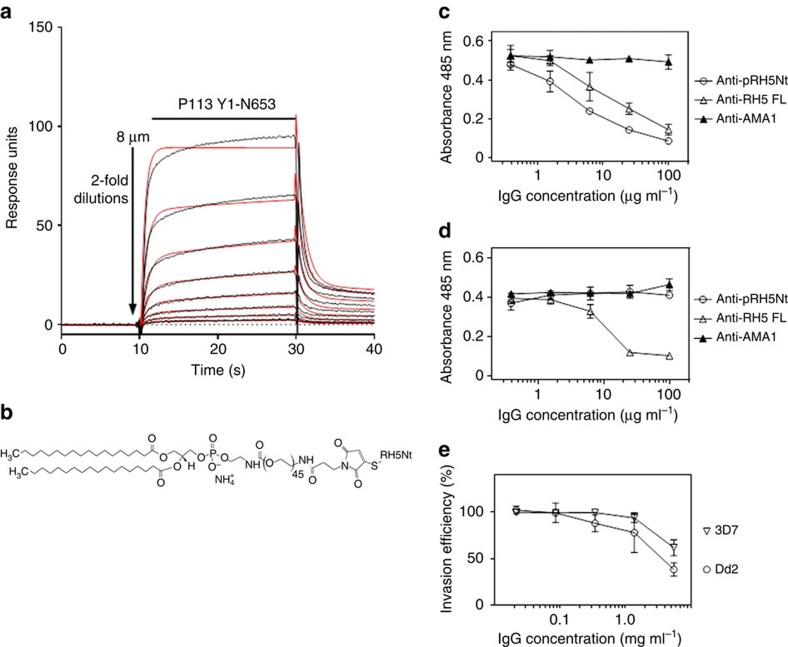 An 'amph-vaccine' based on RH5Nt elicits antibodies that inhibit parasite growth in vitro . ( a ) A synthetic 116 amino-acid peptide corresponding to RH5Nt interacts with P113. Serial dilutions of purified P113 (Y1-N653) were injected over the RH5Nt peptide immobilized on a streptavidin-coated sensor chip after the C-terminal cysteine was conjugated to biotin functionalized with maleimide. Reference-subtracted binding data are shown (black lines) which fit well to a 1:1 binding model (red lines). ( b ) Structure of an 'amph-vaccine' based on RH5Nt created by conjugating the RH5Nt peptide to maleimide-functionalized 1,2-distearoyl-sn-glycero-3-phosphoethanolamine- N -[maleimide(polyethylene glycol)-2000] (PEG 2000 -DSPE). Antibodies raised against RH5Nt peptide (Anti-pRH5Nt) blocked RH5 binding to P113 ( c ), but not to basigin ( d ). The indicated concentrations of protein-G purified rabbit polyclonal antibodies were incubated with RH5 β-lactamase-tagged prey proteins before presenting them to immobilized P113 ( c ) or basigin ( d ) baits. Prey binding was quantified by nitrocefin hydrolysis at 485 nm; polyclonal antibodies to RH5FL and AMA1 were used as positive and negative controls respectively. ( e ) Polyclonal antibodies elicited against the RH5Nt amph-vaccine inhibited erythrocyte invasion of both 3D7 and Dd2 strain of P. falciparum . Data points represent means±95% confidence interval, n= 3; a representative experiment from two independent experiments is shown.
