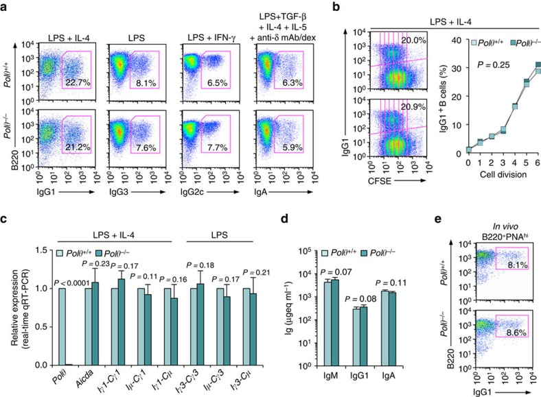 Polθ −/− B cells undergo normal CSR in vitro and in vivo . ( a ) Polθ +/+ and Polθ −/− B cells were stimulated with LPS plus IL-4 (for CSR to IgG1), LPS alone (IgG3), LPS plus IFN-γ (IgG2c) or LPS plus TGF-β, IL-4, IL-5 and anti-δ mAb/dex (IgA). After a 96 h of culture, the B cells were analysed for surface IgG1, IgG3, IgG2c or IgA by flow cytometry. ( b ) Proliferation of Polθ +/+ and Polθ −/− B cells labelled with CFSE and stimulated by LPS plus IL-4 for 96 h. CFSE intensity and surface IgG1 expression analysed by flow cytometry. Proportion of surface IgG1 + B cells at each cell division indicated. P -values determined using a paired Student's t -test. Data are from one representative of three independent experiments. ( c ) Polθ +/+ and Polθ −/− B cells cultured with LPS or LPS plus IL-4 for 60 h. Expression of Polθ , Aicda , germline Iγ1-Cγ1 and Iγ3-Cγ3, circle Iγ1-Cμ and Iγ3-Cμ, and post-recombination Iμ-Cγ1 and Iμ-Cγ3 transcripts analysed by qRT–PCR and normalized to Gapdh transcript, depicted as relative to the expression of each transcript in Polθ +/+ B cells, set as 1. Each sample was run in triplicate. Data are from three independent experiments involving three pairs of Polθ +/+ and Polθ −/− mice (mean±s.d.). P -values determined using a paired Student's t -test. ( d , e ) Polθ +/+ and Polθ −/− littermates were injected with NP 16 -CGG and killed 10 days later. ( d ) Titres of circulating IgM, IgG1 and IgA analysed by enzyme-linked immunosorbent assay (ELISA), expressed as μgeq ml −1 . P -values determined using a paired Student's t -test. Data are from three independent experiments (mean±s.d.). ( e ) Surface IgG1 expression in spleen B220 + PNA hi GC B cells analysed by flow cytometry. Data are from one representative of three independent experiments.