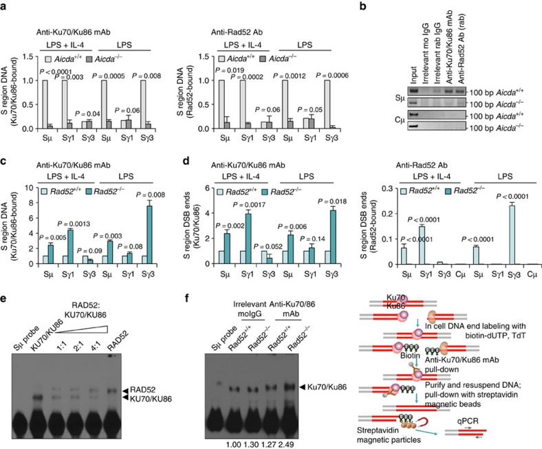 Rad52 competes with Ku70/Ku86 for binding to S-region DSB ends. ( a ) Ku70/Ku86 and Rad52 are recruited to CSR-targeted S region DNA in an AID-dependent manner in B cells undergoing CSR. Aicda +/+ and Aicda −/− B cells were stimulated with LPS or LPS plus IL-4 for 60 h. Cross-linked chromatin was precipitated using rabbit anti-Rad52 antibody or mouse anti-Ku70/Ku86 mAb. Precipitated Sμ, Sγ1 and Sγ3 DNA quantified by real-time quantitative PCR (qPCR); amounts relative to those in Aicda +/+ B cells, set as 1. Each precipitated DNA sample was run as triplicate in qPCR; the average of each triplicate was used as data point for that individual sample. Data are from three independent experiments involving three pairs of Aicda +/+ and Aicda −/− mice (mean±s.d.). P -values determined using a paired Student's t -test. ( b ) Precipitated Sμ and Cμ DNA from Aicda +/+ and Aicda −/− B cells detected by PCR. Data are one representative of three independent experiments. ( c ) Rad52 +/+ and Rad52 −/− B cells were stimulated with LPS or LPS plus IL-4 for 60 h. Chromatin was cross-linked and precipitated using a mouse anti-Ku70/Ku86 mAb. The precipitated Sμ, Sγ1 and Sγ3 DNAs quantified by real-time qPCR; amounts in Rad52 −/− B cells are as relative to those in Rad52 +/+ B cells, set as 1. Each precipitated DNA sample was run as triplicate in qPCR; the average of each triplicate was used as data point for that individual sample. Data are from three independent experiments involving three pairs of Rad52 +/+ and Rad52 −/− mice (mean±s.d.). P -values determined using a paired Student's t -test. ( d ) Rad52 +/+ and Rad52 −/− B cells were stimulated with LPS or LPS plus IL-4 for 60 h. DNA ends were labeled in situ with bio-dUTP using TdT. Chromatin was cross-linked and precipitated using mouse anti-Ku70/Ku86 mAb (left panel) or rabbit anti-Rad52 antibody (right panel). After resuspension, DNA with broken ends was pulled down with streptavidin magnetic beads. Precipitated Sμ, Sγ1, Sγ3 and Cμ DNAs quantified by real-time qPCR (this approach allowed for detection of Ku70/Ku86 or Rad52 bound to DSB-free ends); amounts of precipitated DNA are relative to those in Rad52 +/+ B cells, set as 1 (left panel), or relative to respective input DNA (right panel). Each precipitated DNA sample was run as triplicate in qPCR; the average of each triplicate was used as data point for that individual sample. Data are from three independent experiments involving three pairs of Rad52 +/+ and Rad52 −/− mice (mean±s.d.). P -values determined using a paired Student's t -test. ( e , f ) EMSA using a biotin-labelled double-stranded Sμ DNA probe and ( e ) recombinant human RAD52 and KU70/KU86 (constant amount) proteins at different ratios (1:1, 2:1 and 4:1), or ( f ) nuclear extracts (10 μg protein) from Rad52 +/+ and Rad52 −/− B cells (stimulated with LPS plus IL-4 for 60 h) incubated with mouse anti-Ku70/Ku86 mAb or irrelevant mouse IgG (control). The formation of protein–DNA complexes was shifted by anti-Ku70/Ku86 mAb. Numbers below gel image indicate relative density of protein–DNA complex bands normalized with the density of free probe. Shown is one representative gel of three independent experiments.
