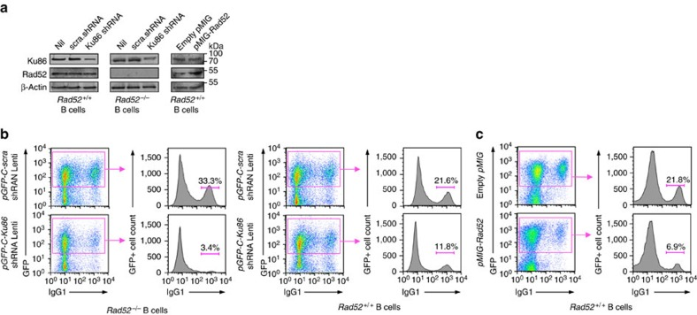 Knockdown of Ku86 expression in Rad52 −/− B cells virtually ablates CSR and enforced expression of Rad52 in normal B cells significantly impairs CSR. Rad52 −/− and Rad52 +/+ B cells were transduced with pGFP-C-Ku86-shRNALenti lentiviral vector expressing Ku86 -specific shRNA and GFP, or pGFP-C-scr-shRNALenti lentiviral vector expressing scrambled shRNA and GFP. Rad52 +/+ B cells were activated with LPS for 12 h and transduced with empty pMIG-GFP retroviral vector or pMIG-GFP-Rad52 retroviral vector expressing recombinant Rad52. After lentiviral or retroviral transduction, B cells were cultured for 96 h with LPS plus IL-4. ( a ) B-cell expression of Ku86, Rad52 and β-Actin proteins analysed by immunoblotting. ( b ) Proportions of surface IgG1 + B cells among pGFP-C-scr-shRNALenti or pGFP-C-Ku86-shRNALenti lentiviral vector-transduced (B220 + GFP + ) Rad52 −/− and Rad52 +/+ B cells were analysed by flow cytometry. Data are from one representative of three independent experiments. ( c ) Proportions of surface IgG1 + B cells among empty pMIG-GFP or pMIG-GFP-Rad52 retroviral vector-transduced (B220 + GFP + ) Rad52 +/+ B cells were analysed by flow cytometry. Data are from one representative of three independent experiments.