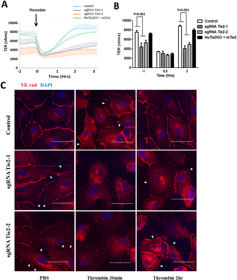 Tie2 deletion by CRISPR-Cas9 in primary ECs increases endothelial permeability and mitigates recovery of permeability in response to thrombin challenge. ( A ) Basal TER and post-thrombin (1 U/ml) TER were studied in confluent control, Tie2-deleted HLMVECs and mTie2 overexpressing cells in which Tie2 had been deleted. Absolute TER values were reduced in both Tie2-deleted groups as compared to control ECs at basal condition. mTie2 overexpression successfully rescued the basal leakiness. ( B ) Quantification of TER values of wild-type (control), transduced cells (sgRNA Tie2-1, sgRNA Tie2-2) and rescued cells (HuTie2KO + mTie2) at basal (−1 h), thrombin-stimulated (0.5 h) and post-recovery (3 h) condition. Differences were calculated using two-way ANOVA. P values less than 0.05 are indicated in the graph. n = 3. ( C ) Serum-starved confluent control or Tie2-deleted HLMVECs were challenged by PBS or 1 U/ml of thrombin, and subjected for VE-cadherin immunostaining at the indicated time-points and analyzed by confocal microscopy. The marked disruption of VE-cadherin junctions seen in wild-type HLMVEC monolayer (control) at the 30 min post thrombin (white arrows) was reversed by 2 h; however, the defective VE-cadherin junctions were present in Tie2-deleted HLMVECs 2 h post-thrombin. White arrows are used to identify areas of adherens junction disruption where neighboring cells lack cell membrane localization of VE-cadherin. Results are representative of 3 independent experiments.