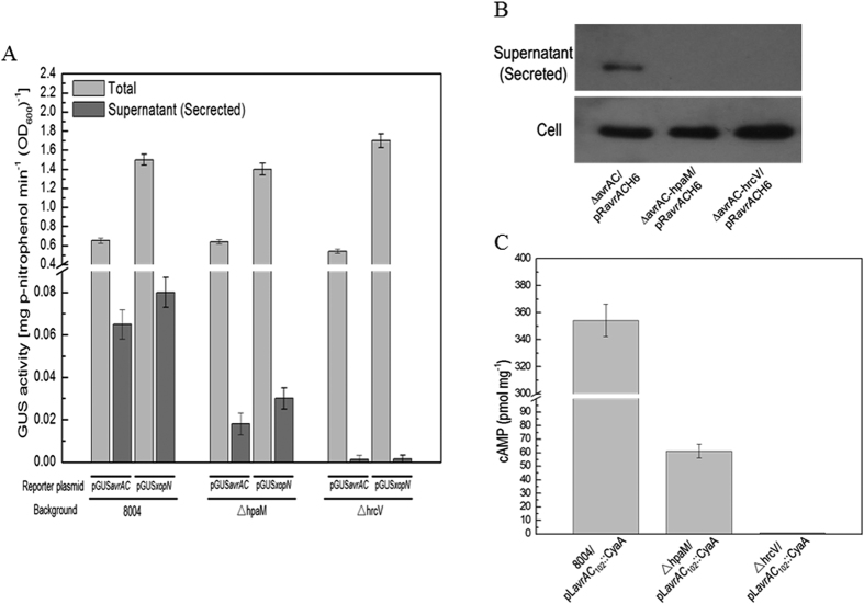 HpaM is essential for secretion of T3SS effectors in Xcc . Type III secretion signal sequence- gusA fusion reporter plasmids pGUS avrAC and pGUS xopN were introduced into Xcc strains. The resulting recombinant strains were cultured in XVM2 medium for 12 h and the β -glucuronidase (GUS) activities were determined. Values are the means ± standard deviation from three repeats. ( A ) GUS activities in the cultural supernatant (Secreted) and the total culture (Total) produced by pGUS avrAC and pGUS xopN in different background strains. ( B ) Western blot assay. The recombinant plasmid pR avrAC H6, which contains the T3E AvrAC encoding sequence fused with 6×His tag in its C-terminus, was introduced into Xcc strains. The resulting recombinant strains were cultured in XVM2 medium for 12 h and proteins in cultural supernatant (secreted protein) were collected by ultra-filtration using Amicon Ultra-15 centrifugal filter (Millipore Corporation, Billerica, MA, USA) and the total proteins in Xcc cells were prepared as previously described 62 . 30 μg of secreted or cell protein was electrophoresed in SDS-PAGE gel and transferred to a PVDF membrane. The presence of AvrAC was detected by anti-His 6 monoclonal antibody. ( C ) Cya protein translocation assay. The pL avrAC 102 ::CyaA fusion construct was transferred into Xcc strains and the resulting recombinant strains were then used to inoculate Chinese radish ( Raphanus sativus ) leaves. The cAMP level was determined 24 h post-inoculation. Values given are the means ± standard deviations of triplicate measurements from a representative experiment; similar results were obtained in two other independent experiments. 8004, wild type strain; ∆hpaM, hpaM deletion mutant; ∆hrcV, hrcV deletion mutant.