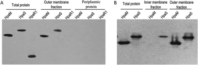 Subcellular localization of HpaM by western blot analysis. Xcc strains were cultured to an OD 600 of 1.0 and proteins were prepared using the method described by Feilmeier and associates (2000) ( A ) or the method described by Chen and associates (2010) ( B ). 30 (for total protein) or 10 μg of protein sample was separated by SDS-PAGE electrophoresis and transferred to a PVDF membrane. The presence of HpaM was detected by anti-His 6 monoclonal antibody. The histidine sensor kinase HpaS and the transcription regulator HpaR1 were used as controls. HpaM, protein sample was prepared from strain ΔhpaM/pR hpaM H6; HpaS, protein sample was prepared from strain ∆hpaS/pR hpaS H6; HpaR1, protein sample was prepared from strain ∆hpaR1/pR hpaR1 H6.