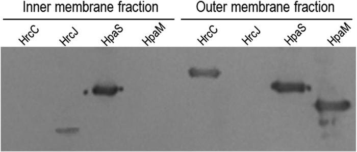 Evidence from western blot analysis reveals that HpaM, HrcC and HrcJ are outer and inner membrane-bound proteins, respectively. The outer and inner membrane fraction proteins from strain ∆hrcC/pR hrcC H6 (for HrcC detection), ∆hrcJ/pR hrcJ H6 (for HrcJ detection), and ΔHpaM-HrcC/pR hpaM H6 (for HpaM detection) were prepared. 10 μg of protein for each sample was separated by SDS-PAGE electrophoresis and transferred to a PVDF membrane. The presence of HrcC, HrcJ, and HpaM was detected by anti-His 6 monoclonal antibody. The histidine sensor kinase HpaS (from strain ∆hpaS/pR hpaS H6) was used as a control.