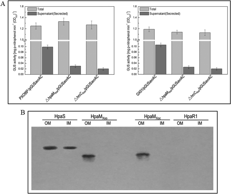 HpaM homologues in Xoo and Xoc have similar functions to HpaM. ( A ) HpaM Xoo (HpaM homologue in Xoo ) and HpaM Xoc (HpaM homologue in Xoc ) are essential for type III secretion. Type III secretion signal sequence- gusA fusion reporter plasmid pGUS avrAC was introduced into Xoo and Xoc strains. The resulting recombinant strains were cultured in XOM2 medium for 12 h and the β-glucuronidase (GUS) activities in the culture (Total) and the cultural supernatant (Secreted) were determined. Values are the means ± standard deviation from three repeats. Left and right elements, GUS activities produced by pGUS avrAC in Xoo and Xoc strains, respectively. ( B ) The HpaM homologues HpaM Xoo and HpaM Xoc are also located in the outer membrane. The outer and inner membrane fraction proteins from Xoo and Xoc strains were prepared and 10 μg of each protein sample was separated by SDS-PAGE electrophoresis and transferred to a PVDF membrane. The presence of tested proteins was detected by anti-His 6 monoclonal antibody. The histidine sensor kinase HpaS and transcriptional regulator HpaR1 of Xcc were used as positive and negative controls. OM, outer membrane; IM, inner membrane.