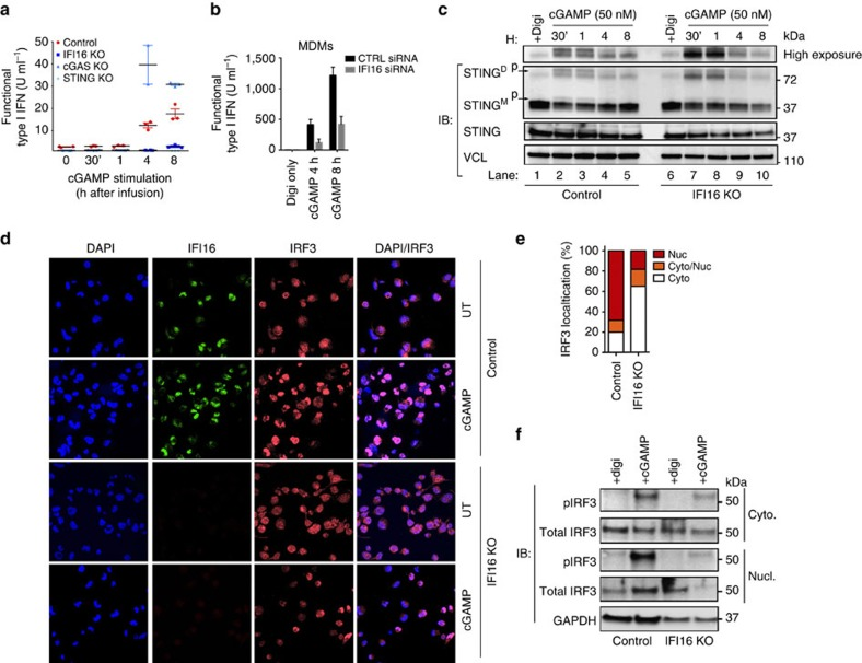 IFI16 regulates cGAMP-mediated STING activation. ( a ) Control, IFI16, cGAS, STING KO THP-1 cells or ( b ) MDMs with IFI16 siRNA knockdown, were infused with cGAMP (50 nM) at indicated time-points and subsequently evaluated for type I interferon secretion. ( c ) STING dimerization analysis by semi-native western blotting. Upper lane represents an overexposure of the dimer STING band. Total STING was run on a separate SDS–Page gel. ( d ) Control and IFI16 KO cells were infused with cGAMP (50 nM) for 2 h, fixed and stained for DAPI (blue), IFI16 (green) and IRF3 (red). ( e ) IRF3 translocation from cytoplasm to nuclear saturation were quantified by counting > 50 separate images of control or IFI16 KO cells 2 h post cGAMP infusion. ( f ) Subcellular fractions of control and IFI16 KO cells stimulated with 50 nM cGAMP for 1 h were immunoblotted for phosphorylated IRF3 and total IRF3 in cytosolic (cyto) and nuclear (nucl) fractions. Data in ( a , b ) represent mean±s.d. of biological triplicates from ( a ) three independent experimental setups or ( b ) one donor; ( c – f ) data is representative of one of three independent experiments.