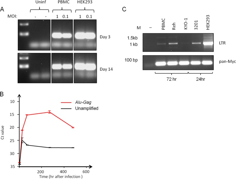Persistence of integrated FeLV-B DNA in human PBMCs. (A) Semiquantitative PCR reveals dose-dependent persistence of FeLV DNA in human PBMCs at 14 days postinfection. Fully permissive HEK293 control cells show stable levels by 3 days postinfection. (B) Results of a quantitative PCR time course analysis for FeLV sequences in PBMC DNA, with and without a preamplification step using primers to FeLV Gag and consensus human Alu sequences. The threshold cycle ( C T ) value is inversely proportional to the DNA content. (C) Results of semiquantitative PCR for LTR circles in FeLV-B-infected cells 3 days (PBMC, Reh, and KYO-1 cells) or 24 h (3201 and HEK293 cells) after infection. While single and double LTR circle forms are readily detected in productively infected HEK293 and 3201 cells, they are barely detectable in Reh cells and PBMCs relative to levels in permissive HEK293 control cells. The loading control was provided by PCR amplification with conserved Myc primers (pan-Myc).
