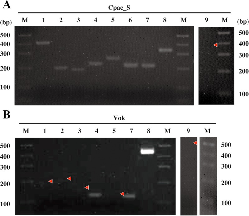 Electrophorograms of the RT-PCR products of NER genes in Ca . Vesicomyosocius okutanii (Vok) and the symbiont of C . pacifica (Cpac_S). A, Cpac_S; B, Vok. Expression of NER-related genes was analyzed by RT-PCR. Lane 1, uvrA ; lane 2, uvrB or corresponding DNA region; lane 3, uvrC or corresponding DNA region; lane 4, uvrD ; lane 5, uvrDp ; lane 6, recA ; lane 7, mfd ; lane 8, 16S rRNA gene; lane 9, 16S rRNA gene negative control (with RNase treatment before RT PCR). M, molecular markers. Primers and the predicted lengths of amplicons are shown in S3 Table . Red arrowheads indicate the position of a band where no signal was detected.