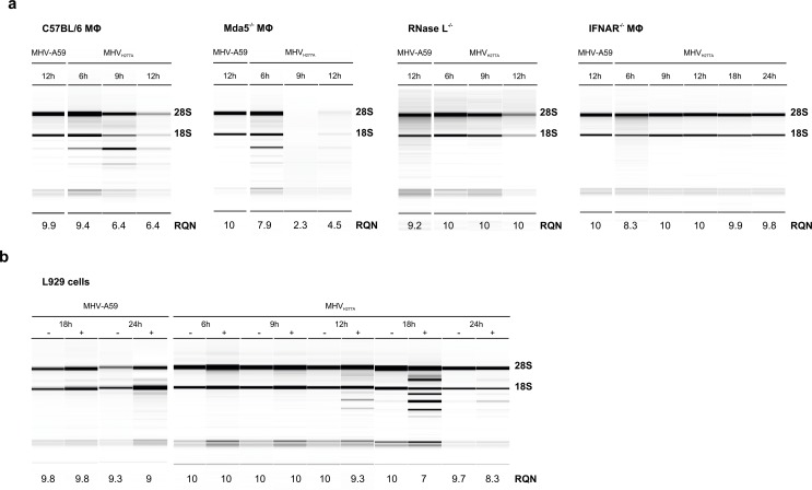 EndoU-deficient <t>MHV</t> induces activation of the OAS-RNase L pathway, resulting in early breakdown of ribosomal <t>RNA.</t> ( a ) Analysis of rRNA integrity in bone marrow-derived macrophages derived from wild type C57BL/6, Mda5 -/- , RNase L -/- , and IFNAR -/- mice following infection with MHV-A59 and MHV H277A (MOI = 1). Total RNA was isolated at indicated time points and degradation of ribosomal RNA as marker for RNase L activation was assessed with a Fragment Analyzer. One representative picture and migration of 18S and 28S ribosomal RNA is displayed. The RNA Quality Number (RQN) is indicated. ( b ) The integrity of rRNA from MHV-A59 and MHV H277A infected (MOI = 1) L929 cells, with or without IFN-I pre-treatment (12.5 U of IFN-I 16h prior to infection). Analysis was performed as in panel ( a ) and one representative image out of five is displayed.