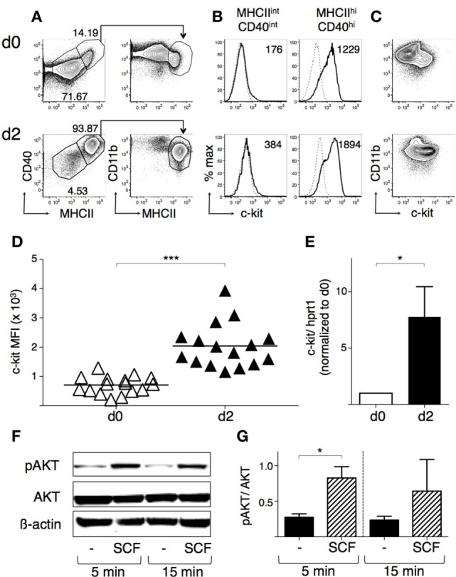 "BM-derived DCs (BMdDCs) express a functional c-kit receptor . BMdDCs were obtained by purifying CD11c + cells from bone marrow cells cultured with granulocyte-macrophage colony-stimulating factor (GM-CSF) for 1 week, as explained in Section "" Materials and Methods "" (day 0). BMdDCs were plated in 24-well plates and cultured for 2 days in complete Opti-MEM medium with GM-CSF at 20 ng/ml (day 2). (A–D) Analysis of c-kit membrane expression by flow cytometry. Day 0 and day 2 BMdDCs were stained with fluorochrome-conjugated monoclonal antibodies (mAbs) and analyzed by flow cytometry (for gating strategy, see Figure S3 in Supplementary Material). (A) Typical flow cytometric profiles showing CD40, CD11b, and MHCII expression by BMdDCs. In the left panels, numbers represent percentages of cells in the indicated regions. (B) Typical histograms showing c-kit expression by MHCII int CD40 int and MHCII hi CD40 hi BMdDCs, gated as in (A) . Solid lines represent c-kit staining profiles, dashed lines isotype control mAb. Numbers indicate c-kit median fluorescence intensity (MFI) values. (C) Representative contour plots showing c-kit and CD11b expression by BMdDCs. (D) Summary of c-kit expression results obtained from day 0 and day 2 MHCII hi CD40 hi BMdDCs, gated as in (A) . c-kit MFI from individual samples and average values (bar). (E) Analysis of c-kit mRNA expression by Real-Time PCR. Day 0 and day 2 BMdDC samples were analyzed by Real-Time PCR in triplicates. c-kit mRNA expression was calculated relative to hprt1 in arbitrary units. For each experiment, day 2 c-kit/hprt1 levels were normalized with day 0. (F,G) Western blot analysis of phospho-AKT expression by BMdDCs stimulated with stem cell factor (SCF). Day 2 BMdDCs obtained as above were stimulated with SCF at 100 ng/ml for 5 and 15 min or left untreated, as indicated. Western blot was performed with anti-phospho-AKT, anti-AKT and anti-β actin mAbs, and results analyzed by densitometry. (F) Representative Western blot results. (G) Densitometric analysis. Phospho-AKT levels were calculated relative to AKT in arbitrary units. In (A–C) representative data of 9–16 experiments, in (D) N = 16 experiments, in (F) representative data of three experiments, in (E,G) mean ± SD of three experiments (* P ≤ 0.05; *** P ≤ 0.001)."