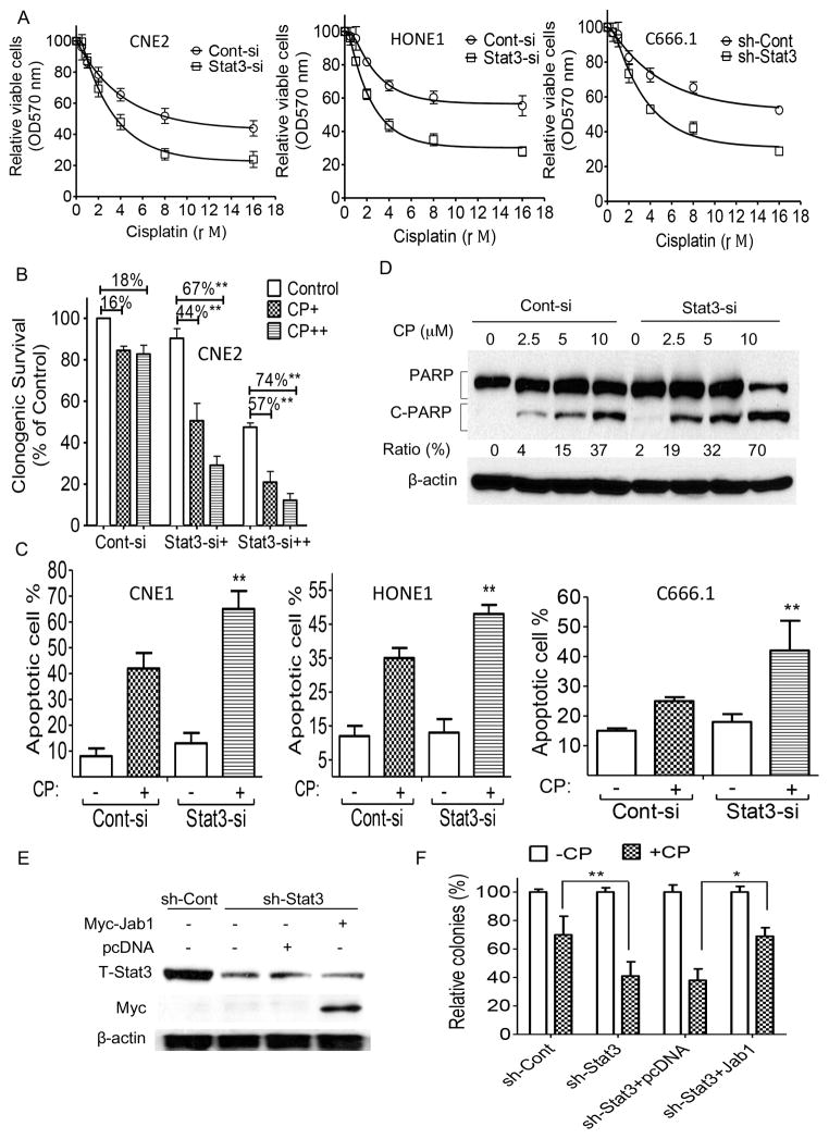 Effect of Stat3 depletion on NPC cells' sensitivity to cisplatin (A–D) Stat3 expression levels and cisplatin (CP) responses of CNE2 and HONE1 cells transiently transfected with Stat3 siRNA (Stat3-si) or scrambled control siRNA (Cont-si) and of C666.1 cells stably infected with Stat3 shRNA (sh-Stat3)- or control shRNA (sh-Cont)-carrying lentivirus as determined by MTT assay (A), colony formation assay (B), annexin-V/PI staining (C), and PARP cleavage in CNE2 cells (D). (E, F) CNE2 cells stably expressing sh-Stat3 were transfected with pcDNA or Myc-Jab1 plasmid DNA. (E) Western blot analyses demonstrated the effective knockdown and ectopic expression. (F) Colonies were stained with crystal violet 10 days after CP exposure. The data are means with standard deviations for three independent experiments. ** P