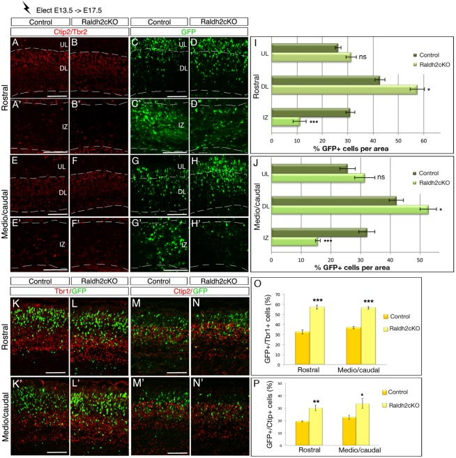 Lack of RA impairs cell migration of early - born cortical neurons. Brain sections from E17.5 mice electroporated at E13.5 with a GFP reporter construct were analysed for GFP (C-D′,G-H′), and by immunolabelling for Tbr2 and Ctip2 (A-B′,E-F′). Single-color immunolabelling for the two markers help to define the upper layers (UL) and deeper layers (DL) of the cortical plate and the intermediate zone (IZ). (I,J) Histograms depict the percentage of GFP-positive cells per zone (UL, DL and IZ) of the rostral (I) and caudal (J) levels of developing cortex. (K-L′,O) Quantification of GFP-positive cells (green) expressing Tbr1 (red) in the cortical plate of control and Raldh2cKO animals. (M-N′,P) Quantification of GFP-positive cells (green) expressing Ctip2 (red) in the cortical plate of control and Raldh2cKO animals. The histograms (O,P) show the percentage of double-labelled cells over GFP+ cells. Data presented as mean±s.e.m.; n =5 brains; * P
