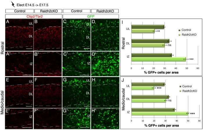 Lack of RA perturbs cell migration of late - born cortical neurons. Brain sections from E17.5 embryos electroporated at E14.5 with the GFP reporter were analysed by immunolabelling for Tbr2 and Ctip2 (A-B′,E-F′) and for GFP-expressing cells (C-D′,G-H′), at rostral (A-D′) and caudal levels (E-H′) of the cortex. (I,J) Histograms show the percentage of GFP-positive cells in control and Raldh2cKO animals per upper layer (UL), deeper layer (DL) and intermediate zone (IZ) of the developing cortex. Data presented as mean±s.e.m.; n =5 brains; ** P