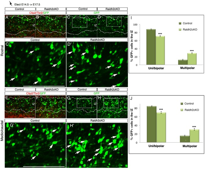 Aberrant morphology of newborn migrating neurons in Raldh2cKO brains. In vivo electroporation of the GFP reporter was performed on E14.5 cortices, which were harvested at E17.5. (A,B,E,F) Immunolabellings on electroporated control and Raldh2cKO animals for Tbr2 and Ctip2 (red) to define the upper layers (UL), the deeper layers (DL) and the intermediate zone (IZ). (C,D,G,H) GFP signal in electroporated control and Raldh2cKO animals. (C′,D′,G′,H′) Higher magnification views of the areas boxed in C,D,G,H representing the counted areas. More electroporated cells in the IZ exhibit a multipolar morphology in Raldh2cKO mutants (white arrows). (I,J) Histograms showing the distribution of bipolar and multipolar cells in the IZ at rostral (I) and caudal (J) levels. Quantifications. Bipolar cells rostrally: 87.64±1.41% for control and 71.14±1.5% for Raldh2cKO; caudally : 84.17±1.15% for control and 69.70±2.43% for Raldh2cKO. Multipolar cells rostrally: 12.35±1.4% for control and 28.85±1.5% for Raldh2cKO; caudally: 15.82±1.15% for control and 30.29±2.43% for Raldh2cKO. Data presented as mean±s.e.m.; n =5 brains; ** P