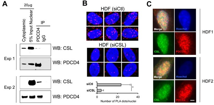 Endogenous PDCD4/CSL association and co-localization A. Nuclear extracts from early passage HDFs were analyzed by immune-precipitation (IP) with anti-PDCD4 antibodies or non-immune IgGs followed by immunoblotting with antibodies against CSL or PDCD4 as indicated. Shown are the results of two different experiments with HDF strains of independent origin. B. Proximity ligation assay (PLA) were used for in situ detection of CSL-PDCD4 association in HDFs. Red fluorescence foci (PLA signals) represent the interaction between CSL and PDCD4, and were analyzed by confocal microscopy with DAPI staining of nuclei (blue). The specificity of CSL-PDCD4 PLA signals was confirmed by the significant reduction of PLA signal in HDFs with siRNA-mediated CSL gene silencing. Shown are representative PLA images and the average number of dots per nucleus in HDFs plus/minus siRNA-mediated CSL gene silencing. PLA dots were counted from at least 30 cells in four fields. * p
