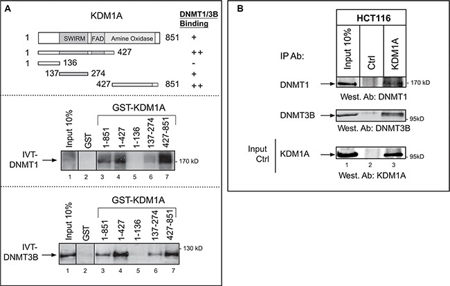 "Interaction of KDM1A with DNMT1 and DNMT3B in vitro and in cancer cells ( A ) KDM1A interacts with DNMT1 and DNMT3B in vitro . Upper panel: Schematic representation of the KDM1A protein, with its known domains highlighted. Also shown are the different sequences that were fused to GST and tested for binding to DNMT1 or DNMT3B. The results are summarized on the right (from ""++"" [strong interaction] to ""–"" [no interaction]). Middle and lower panels: The indicated GST fusions were tested in GST pull-down experiments using IVT full-length DNMT1 (IVT-DNMT1) (middle panel) or DNMT3B (IVT-DNMT3B) (lower panel) (lanes 3 to 7). Lane 2 shows the results of the control pull-down with GST protein alone. Lane 1 shows 10% of the radiolabeled IVT-DNMT1 or IVT-DNMT3B engaged in the pull-down experiment. A vertical line indicates juxtaposition of non-adjacent lanes of the same blot (the exposure time was the same). ( B ) Western blots showing that DNMT1 and DNMT3B co-immunoprecipitate with KDM1A from HCT116 whole-cell extracts (lanes 3). Anti-rabbit IgG was used in the negative control (lanes 2). Input stands for non-immunoprecipitated HCT116 extract (10% of the volume subjected to immunoprecipitation) (lanes 1). The western blot at the bottom shows the efficiency of KDM1A immunoprecipitation by the anti-KDM1A antibody. The vertical line indicates juxtaposition of non-adjacent lanes of the same blot (exposure time was the same)."