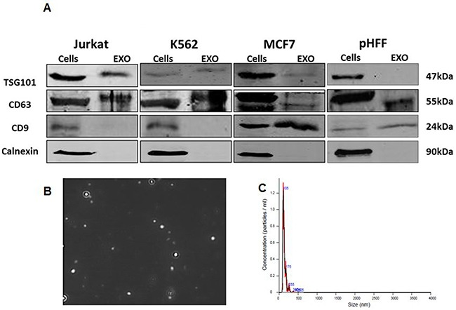 Validation of exosome isolation Exosomes were isolated from Jurkat, <t>K562,</t> MCF7 and HCT116 cells growth medium depleted from <t>FBS</t> exosomes as described in the Methods section following 72 hours of growth. A . Exosomal markers from all cells lines analyzed by Western blotting; B. Capture imaging of Jurkat exosomes obtained by using the NanoSight device; C. amount of these exosomes obtained specified by the NanoSight device.