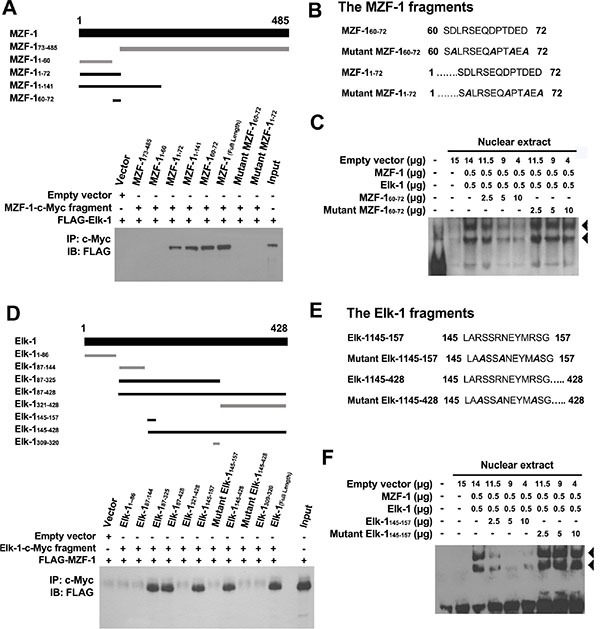 """Identification of MZF-1 and Elk-1 interacting domains ( A ) MZF-1-c-Myc and its fragments (amino acids 73–485, 1–60, 1–72, 1–141, and 60–72) were used to indicate the binding domain of MZF-1 (upper panel). Dark-black bands denote the fragments that bound Elk-1 as present in the co-immunoprecipitation assay (lower panel). HEK-293 cells were transfected with 5 μg of FLAG-Elk-1 and either empty vector or the indicated MZF-1-c-Myc fragment. The c-Myc-fused peptides were immunoprecipitated (IP) by the c-Myc monoclonal antibody and then immunoblotted (IB) with the anti-FLAG antibodies. Lysates of HEK-293 cells transfected with the FLAG-Elk-1 only were also immunoblotted as control (Input). """"+"""" indicates the presence of a component, whereas """"−"""" indicates the absence of a component. ( B ) Two mutant fragments (amino acids 1–72 and 60–72) of MZF-1 in which the negatively charged aspartates in their binding domains were mutated to uncharged alanines (shown in slanted dark-black band). ( C ) Effect of normal and mutant fragments of MZF-1 on specific binding activities of Elk-1 and MZF-1 at the PKCα promoter analyzed by EMSA. The biotin-labeled WT oligonucleotide probes were incubated with a specific concentration of nuclear extracts of the different-treated HEK-293 cells. The HEK-293 cells were transfected with empty vector, Elk-1, MZF-1, MZF-1 60–72 , or mutant MZF-1 60–72 , and the reactions were resolved on a non-denaturing polyacrylamide gel. DNA–protein complexes are denoted by the black arrow-head. FP: free probe. ( D ) Elk-1-c-Myc and its fragments (amino acids 1–428, 1–86, 87–144, 87–325, 87–4281–86, 87–144, 87–325, 87–428, and 60–72) of Elk-1 used to indicate the binding domain (upper panel). Dark-black bands indicate the fragments that bound MZF-1 as present in the co-immunoprecipitation assay (lower panel). HEK-293 cells were co-transfected with 5 μg of FLAG-MZF-1 construct and either empty vector or the indicated Elk-1-c-Myc fragment. Lysates of HEK-293 cells trans"""