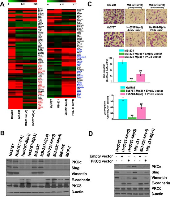Disrupting the interaction between MZF-1 and Elk-1 decreases EMT potential ( A ) Comparison of the gene expression profiles of upregulated (left panel) and downregulated (right panel) EMT-related genes in MZF-1 60–72 -transfected Hs578T and MB-231 cloned cells, as determined by microarray with those of the parental cells. ( B ) Immunoblotting analysis of changes in protein levels in the parental and transfected cells and in the less malignant MB-468 (MB-468) and MCF-7 cells. ( C ) Visualization and quantification of cell migration of <t>PKCα-transfected</t> cells by migration assay. MZF-1 60–72 construct-transfected stably cloned cells were transfected with the empty-vector or full-length PKCα construct for 3 days, and migration assay was performed. ** p