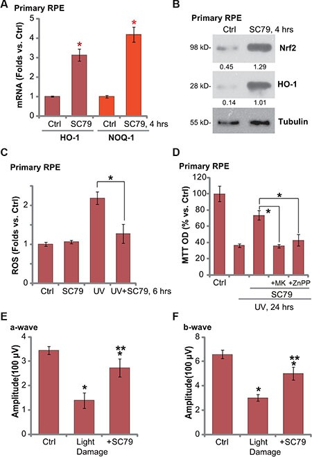 """SC79 activates Nrf2 signaling in primary murine RPE cells and its retinal protection activity in vivo Primary murine RPE cells were treated with SC79 (5 μg/mL) for indicated time, expressions of listed mRNAs ( A ) and proteins ( B ) were tested. Primary murine RPE cells were treated with UV (30 mJ/cm 2 ) radiation, or plus SC79 (5 μg/mL, 30 min prior UV), cells were further cultured before ROS content was analyzed ( C ). Primary murine RPE cells were pre-treated with SC79 (5 μg/mL), or plus MK-2206 (""""MK"""", 5 μM)/ZnPP (10 μM), followed by UV (30 mJ/cm 2 ) radiation, cells were further cultured for 24 h before cell viability was tested ( D ). After the light exposure in mice retina, ERG was measured, quantified amplitudes of a- and b-waves were presented ( E and F ). For each assay, n = 5. * p"""