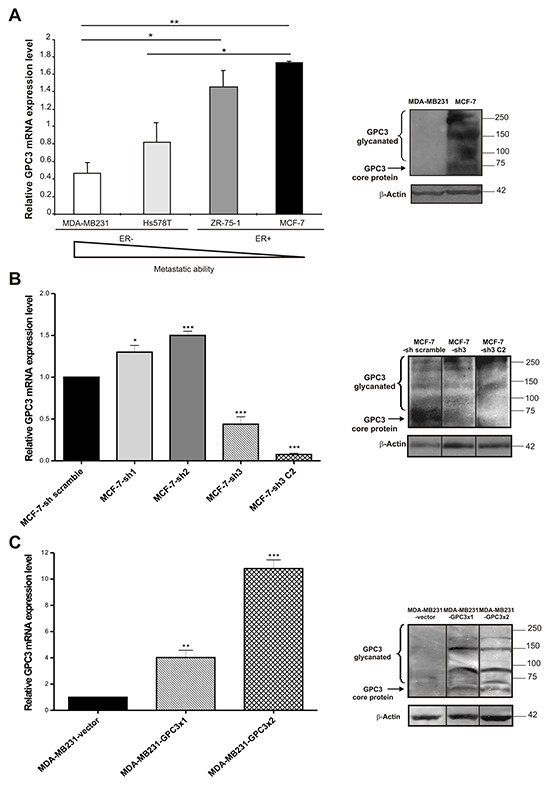 GPC3 expression in breast cancer cell lines A, B, C. Left panel : GPC3 mRNA expression levels were identified by qRT-PCR analysis of MDA-MB231, Hs578T, ZR-75-1 and MCF-7 (A), MCF-7-scramble, MCF-7-sh1, MCF-7-sh2, MCF-7-sh3 and MCF-7-sh3 C2 (B), MDA-MB231-vector, MDA-MB231-GPC3×1 and MDA-MB231-GPC3×2 (C) cells. GAPDH was used as control. Values are expressed as mean ± SD. The data are representative of three independent experiments. (*p