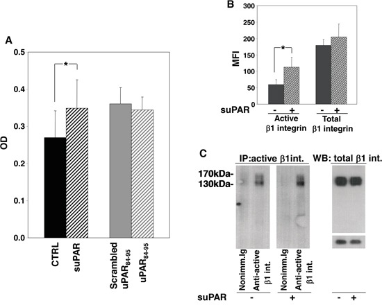 Full-length suPAR increases adhesion of KG1 cells to fibronectin Panel A: KG1 cells were resuspended in 1mg/ml BSA-RPMI at a density of 1×10 6 cells/ml, pre-incubated with or without suPAR (20 nM), uPAR 84-95 or scrambled peptide (10 nM) for 30′ at 37°C and plated on plastic-bound fibronectin for 16 h at 4°C. Attached cells were fixed with 3% PFA and stained with crystal violet; stain was eluted and its absorbance at 540 nm was measured by a spectrophotometer. (*) p≤0.05, as determined by the Student's t test. Panel B: suPAR-treated or untreated KG1 cells were fixed with PFA, incubated with antibodies against total or active β1 integrin or with nonimmune mouse Ig and, then, with FITC anti-mouse IgG. Cells were finally analyzed by flow cytometry using a FACScan (MFI: Mean Fluorescence Intensity). (*) p≤0.05, as determined by the Student's t test. Panel C: Cell surface antigens of suPAR-treated or untreated KG1 cells were biotinylated with EZ-link sulfo-NHS-LC-biotin. Cells were lysed; 50 μg of cell lysates were analyzed by Western blot with an antibody against total β1 integrin, 400 μg of cell lysates were incubated with an antibody against active β1 integrin or nonimmune mouse Ig. Immunocomplexes were then precipitated by protein A-Sepharose, eluted and analyzed by Western blot with horseradish peroxidase-conjugated streptavidin.