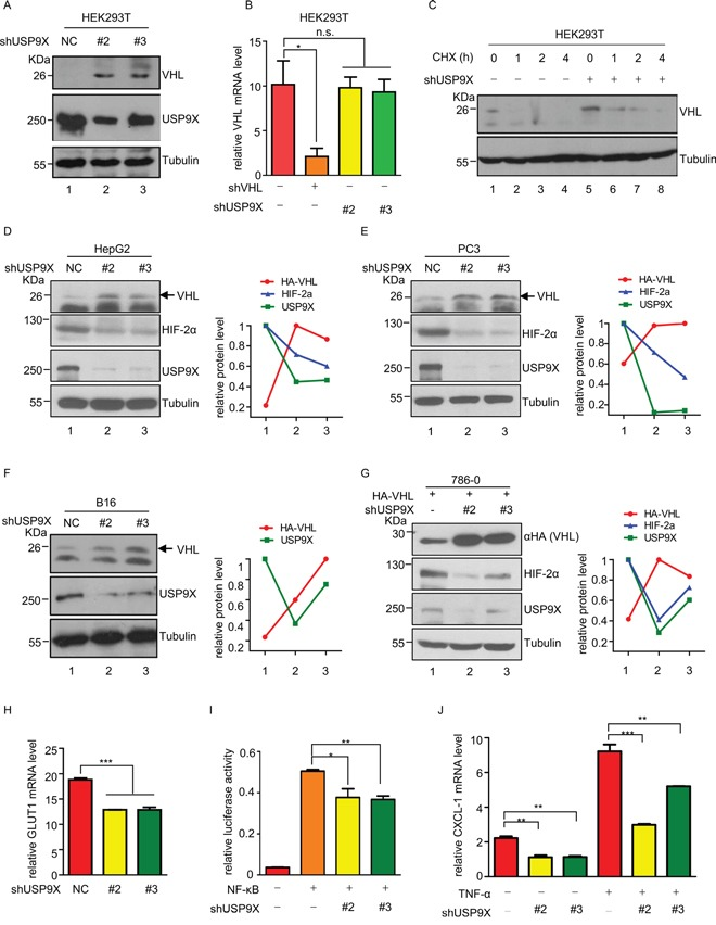 USP9X negatively regulates pVHL A. Western blot analysis of pVHL protein levels in USP9X knockdown cells. HEK293T cells were infected with scramble or shUSP9X lentivirus for 48 hours. After harvesting cells were immunoblotted with indicated antibodies. B. Relative VHL mRNA levels in USP9X knockdown cells. Either VHL or USP9X was knocked down in HEK293T cells and mRNA levels of VHL were determined by qPCR. The expression levels are normalized to the GAPDH mRNA level. The results represent the mean ± SEM of three independent experiments and were analyzed with the Student's t -test. * p