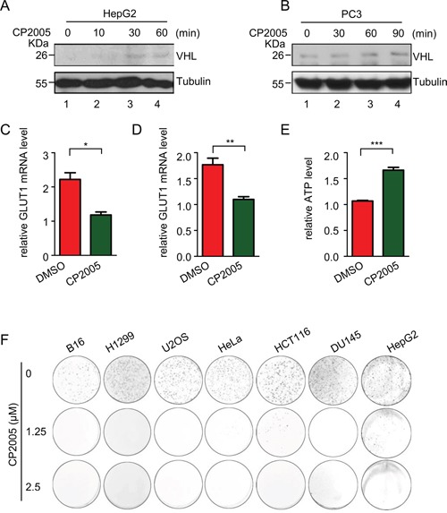 CP2005 induces pVHL through targeting USP9X to inhibit tumor cells growth A. and B. HepG2 and PC3 cells were treated with CP2005 (2.5 μM) for indicated periods of time. After harvesting cells were immunoblotted with indicated antibodies. C. and D. HepG2 and PC3 cells were treated with vehicle control or CP2005 (2.5 μM) for 1 hour, and GLUT1 mRNA levels were determined by qPCR. The expression levels are normalized to the GAPDH mRNA level. The results represent the mean ± SEM of three independent experiments and were analyzed with the Student's t -test. ** p