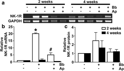 In vivo NHP infection with B. burgdorferi increases NK-1R expression in the CNS, and such increases are prevented by treatment with the NK-1R antagonist aprepitant. Rhesus macaques were uninfected ( n = 2 animals) or infected intrathecally with B. burgdorferi (Bb, 1 × 10 8 bacteria; n = 8), and infected animals were either untreated ( n = 4) or treated with aprepitant ( n = 4) for 2 or 4 weeks prior to euthanasia. Expression of <t>mRNA</t> encoding NK-1R in frontal cortical tissue samples was determined by <t>RT-PCR</t> ( a ) and relative expression normalized to GAPDH levels was determined by densitometric analysis ( b ). NK-1R protein expression was determined in tissue samples by immunoblot analysis and normalized to β-actin expression ( c ). Data is expressed as the mean ± SD. Asterisk and pound symbols indicate statistically significant difference from uninfected animals and untreated infected animals, respectively ( p