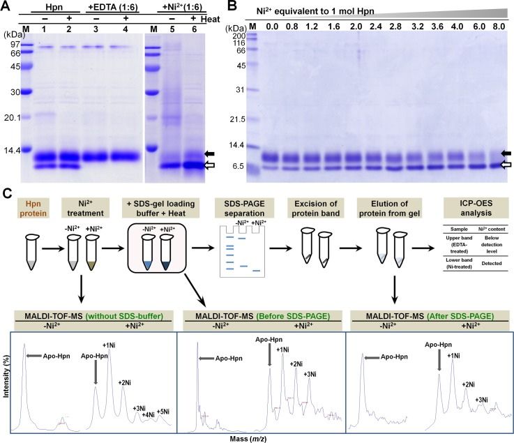 """Confirmation of """"Metal gel-shift"""" mechanism. A. Effect of EDTA and Ni 2+ ion treatment on migration rate of recombinant Hpn in SDS-PAGE (polyacrylamide-gel 20%). Lane M, protein marker (GE Healthcare; MW from top to bottom: 97, 66, 45, 30, 20.1 and 14.4 kDa); lane 1 and 2, Hpn before and after boiling (3 min at 100°C), respectively; lanes 3 and 4, EDTA-treated Hpn without and with boiling, respectively; lanes 5 and 6, Ni 2+ -treated Hpn without and with boiling, respectively. B. The SDS-PAGE analysis of partially-metalated-Hpn (25 μM) treated with increasing concentration of Ni 2+ (1:0, 1:0.8, 1:1.2, 1:1.6, 1:2.0, 1:2.4, 1:2.8, 1:3.2, 1:3.6, 1:4.0, 1:6.0 and 1:8.0). Lane M is marker proteins standard from Nacalai Tesque (200, 116, 66, 45, 31, 21.5, 14.4, 6.5 kDa from top to bottom respectively). Equal volume of heat-denatured protein applied in each lane. C. Scheme used for MALDI-TOF-MS analysis of Hpn protein that was heat denatured in Laemmli buffer. MS data was measured for Hpn treated with or without Ni 2+ ion (1:6 mol equivalent ratios). Further, MS data for Hpn (with or without Ni 2+ ) treated in Laemmli buffer (before and after SDS-PAGE) was measured. Even though some interference due to adducts was observed in samples treated with Laemmli buffer or gel-eluted fractions, metalated peaks (showing Hpn-Ni 2+ complexes) were distinct. The occurrence of metalated peaks was observed only for Ni 2+ -treated Hpn in all the conditions."""