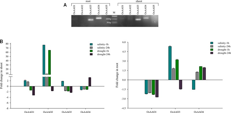 Expression pattern of AAO genes in rice based on RT-PCR and qRT-PCR analysis. (A) EtBr stained agarose gel depicting the expression of AAO genes in root and shoot tissue of rice seedling. Individual lanes show amplicons corresponding to OsAAO1 – OsAAO5 amplified from rice root and shoot tissue using gene specific real-time PCR primers. M corresponds to 50 bp ladder. (B) Histogram representing fold change of OsAAO1, OsAAO2, OsAAO3 , and OsAAO4 in 1 and 24 h stress treated shoot and root tissue of rice seedling based on qRT-PCR analysis. OsAAO5 could not be amplified hence it was not included in real-time analysis. Real-time PCR was done with cDNA template synthesized from shoot and root tissue of 10 days old control or stressed (salinity 200 mM NaCl and drought) rice seedlings.
