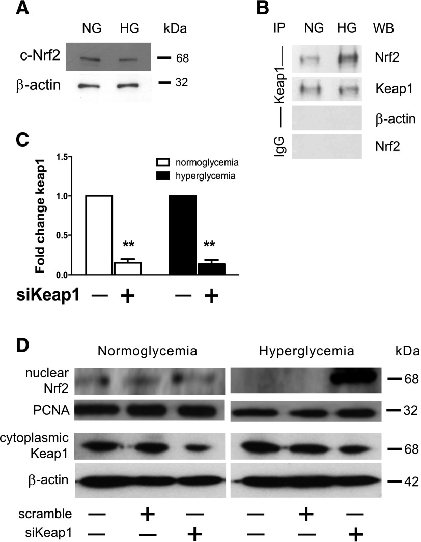 Defective Nrf2 nuclear translocation in chronic hyperglycemia can be alleviated by Keap1 inhibition. Protein lysates of 3T3 fibroblasts cultured in either NG or chronic HG conditions were generated 48 h after introduction of si Keap1 or control scramble siRNA. A : Cytoplasmic protein lysate (10 μg) from NG and chronic HG samples reveal relatively equivalent amounts of Nrf2 within the cytoplasm. B : Immunoprecipitation of cytosolic Keap1 demonstrates that there are notable differences between the proportions of Nrf2 sequestered by Keap1 in the cytoplasm between NG and HG 3T3s. C : Quantitative RT-PCR demonstrates that Lipofectamine-based si Keap1 transfection effectively reduces Keap1 expression in cultured fibroblasts to