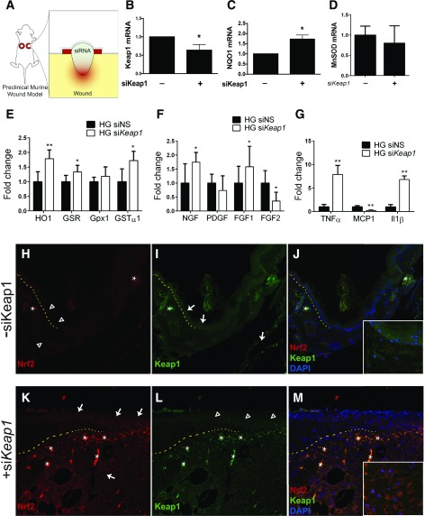 Keap1 silencing in vivo upregulates Nrf2-mediated antioxidant mechanisms. Wound healing in db/db mice was analyzed using a validated stented-wound model, and the effect of weekly topical si Keap1 therapy was evaluated on macroscopic and molecular levels. A : Schematic of topical si Keap1 therapy. B : mRNA from si Keap1 -treated wounds shows a 36% reduction in Keap1 expression 10 days into treatment. C : Ten days into treatment, topical si Keap1 therapy increases NQO1 expression in wounds by 73% compared with scramble siRNA. D : MnSOD expression in 10-day treated diabetic wounds. E–G : Gene expression of Nrf2 target genes ( E ), growth factors ( F ), and inflammatory factors ( G ) in wound beds following si Keap1 topical therapy. H–M : Immunofluorescence of Nrf2 and Keap1 in tissue sections of wounded diabetic tissue, with indicated topical siRNA therapy. All images are ×10 magnification. Insets in J and M are ×20 magnification. Open arrowheads show low expression in the indicated region; white arrows show upregulated expression in the indicated region; asterisks note autofluorescence. The dotted line demarcates the epidermis (above) and dermis (below) at the wound edge. PDGF, platelet-derived growth factor; siNS, nonsense siRNA. * P