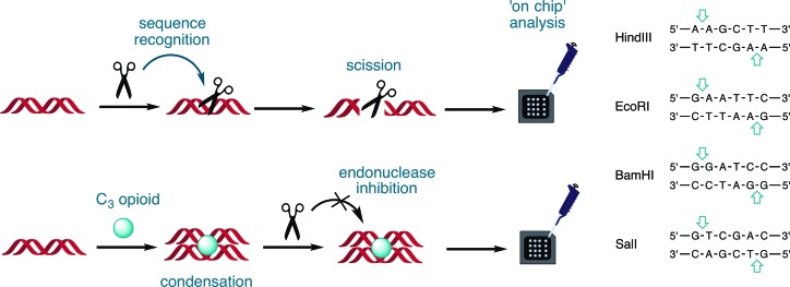 Experimental design for the Bioanalyzer 2100 to identify site-specific endonuclease inhibition by opioid compounds, HindIII, EcoRI, BamHI and SalI.