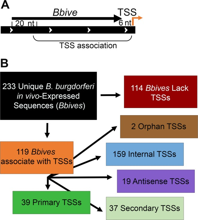 B. burgdorferi in vivo expression technology (BbIVET)-identified sequences with associated TSSs. ( A ) Schematic representation of BbIVET associations with 5′RNA-seq TSSs. Brackets designate the parameters for the association. Relative orientation of the genome region (wide black bar with white arrows), Bbive sequence (thin black arrow) and TSS (orange bent arrow) are indicated. The minimum and maximum Bbive -TSS association distances were defined as 20 nts from the 5′ end and 6 nts from the 3′ end of a Bbive sequence. ( B ) Categorization of Bbive s that associate with 5′RNA-seq TSSs.
